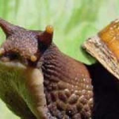 Escargot géant africain / Achatina fulica
